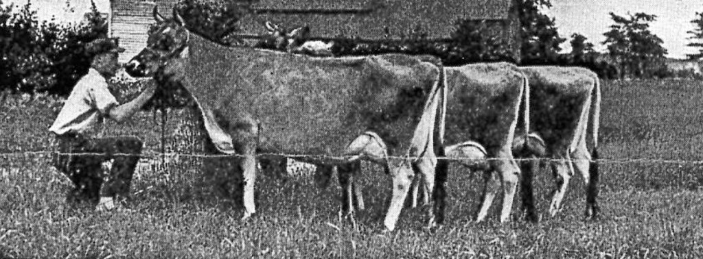 History of Harvey Jersey Cattle